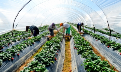 Migrant workers harvest strawberries in a poly tunnel