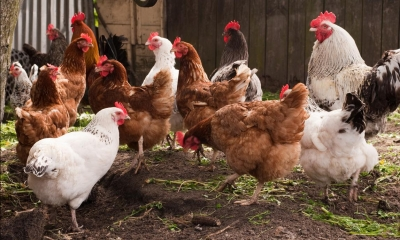 A group of chickens on poultry farm
